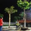 Taksim'e kocaman ağaçlar dikildi