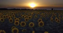 Ay çiçeği ile günbatımının buluşması