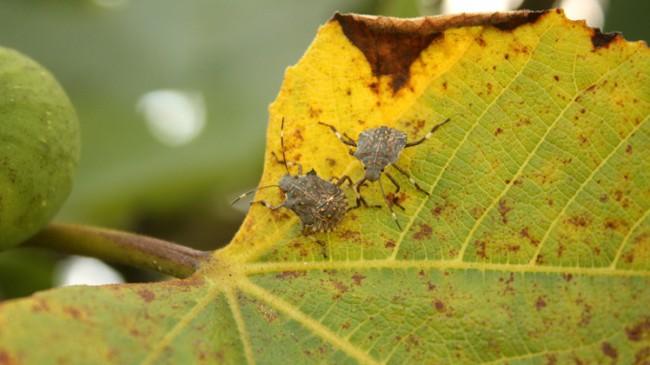 Bitki ve ürün düşmanı 'Kahverengi Kokarca'