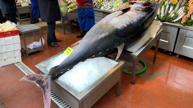 Orkinos balığı tam 325 kilo