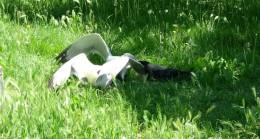 Karga, kavga eden martıları ayırdı!