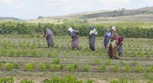 Dursunköylüler çiftçilikle geçimini sürdürüyor