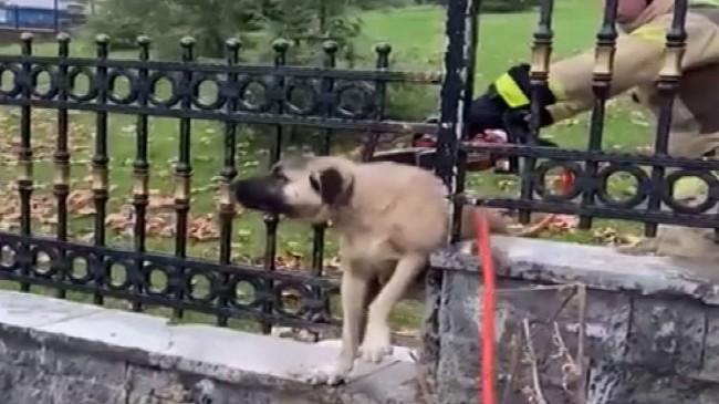 Köpek demir korkuluklara sıkıştı