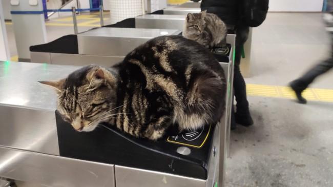 Kediler soğukta akbil turnikelerinde ısındı