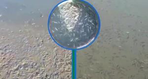 Su seviyesi dibe vuran Ömerli barajında yavru balıklar kurtarılıyor