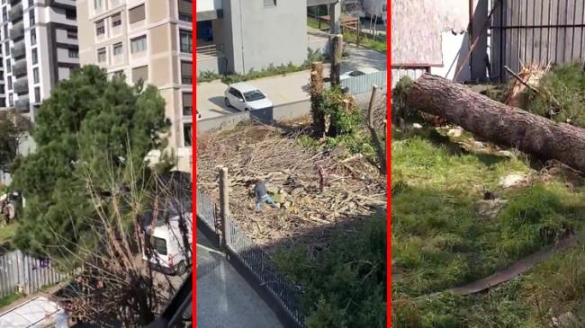 İnşaat alanı açmak için göz göre göre fıstık ağacını kestiler
