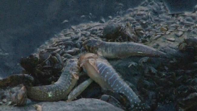Küçükçekmece Gölü'nde ölen balıklar kıyıya vurdu