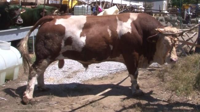 Tuzla Kurban Pazarı'ndaki 1,5 tonluk 'minik tosun' alıcısını bekliyor