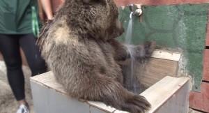 Yavru ayı Diva'nın banyo keyfi