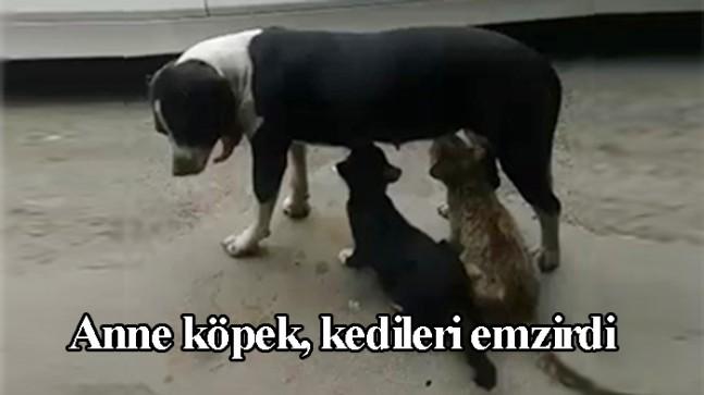 Köpek kedilere annelik yaptı